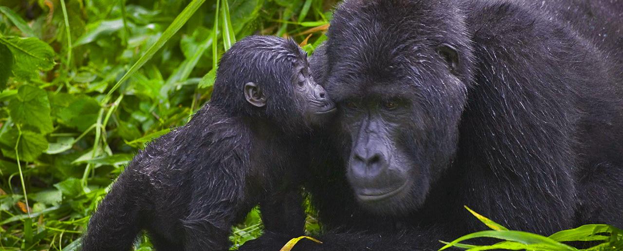 home_gorilla_1