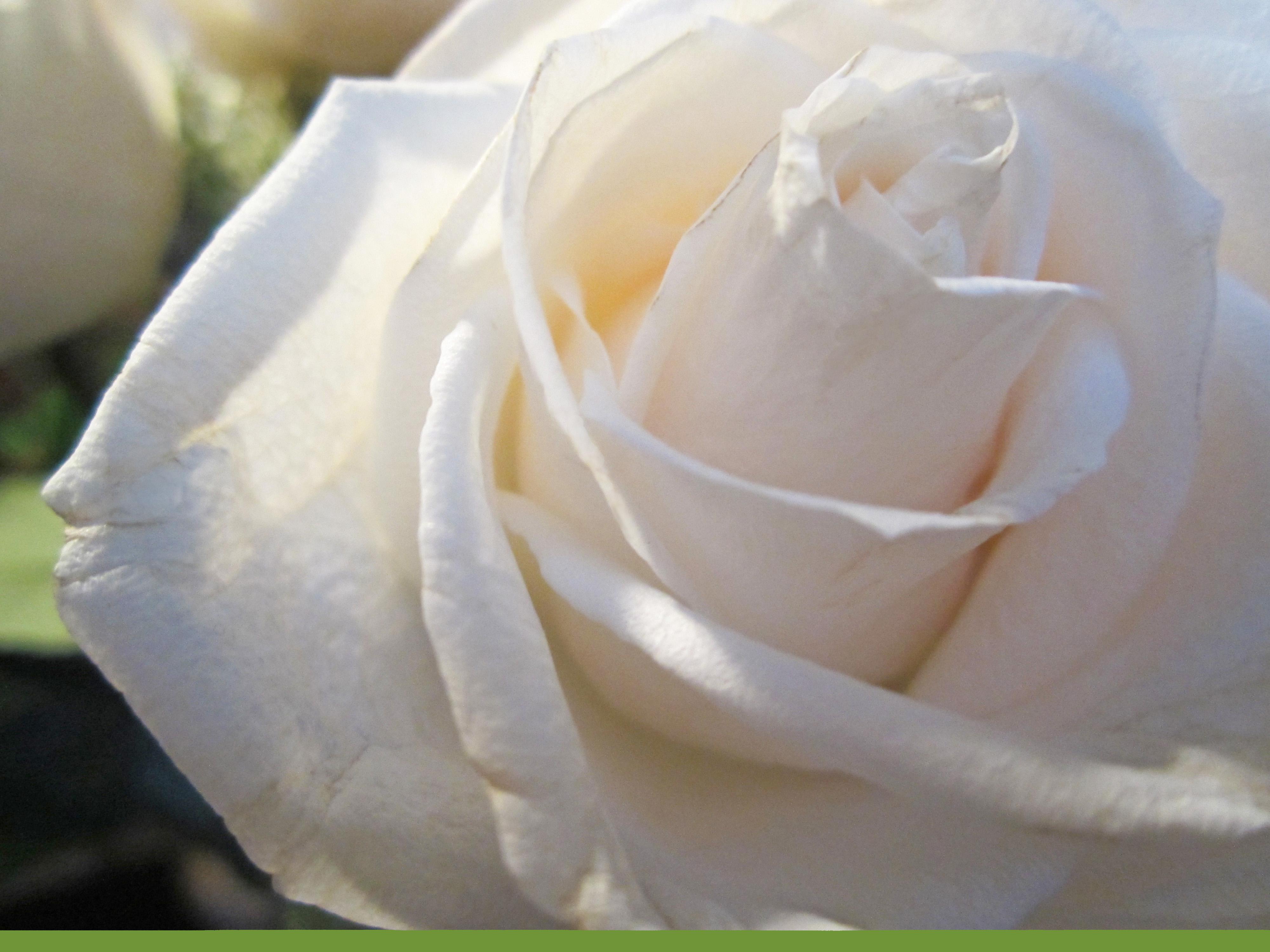 white rose wih bar